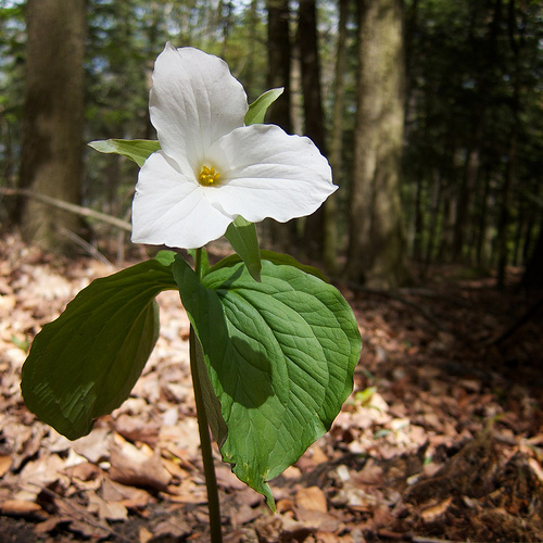 The trillium, Ontario's provincial flower.