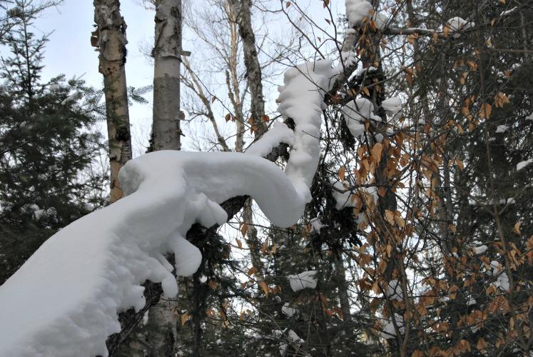 SnowyBranch